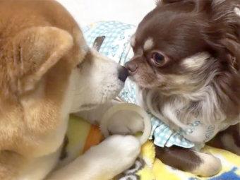 柴犬,同居犬
