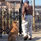柴犬,おじいちゃん