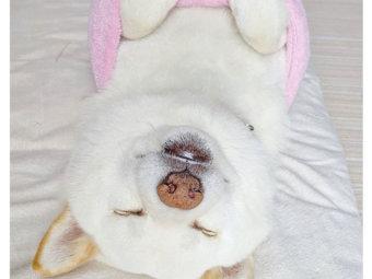 柴犬,寝相