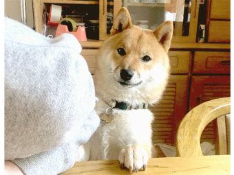 柴犬,ちょうだい