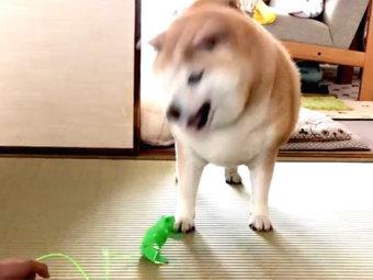 柴犬,驚く