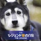 【特集】レジェンド柴の肖像ー12歳を超えて