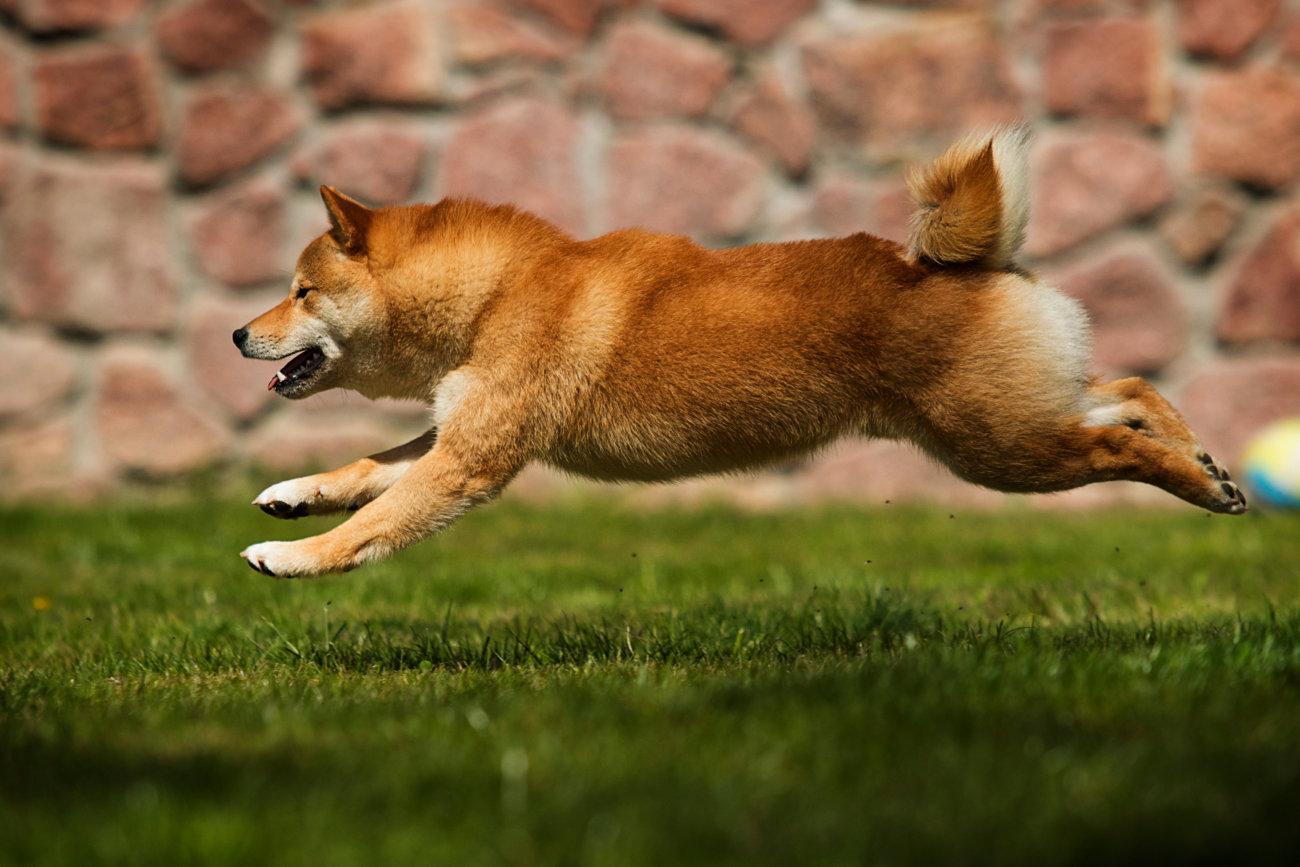 柴犬,ワンフー,ラブガド