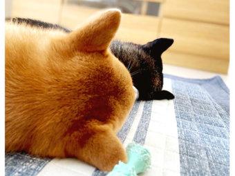 柴犬,後頭部
