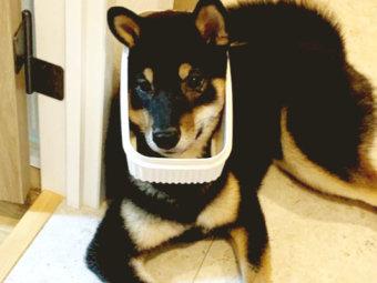 柴犬,キメ顔