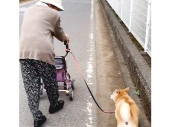 柴犬,おばあちゃん