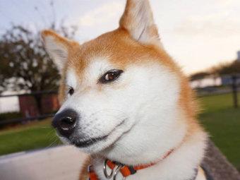 柴犬,流し目