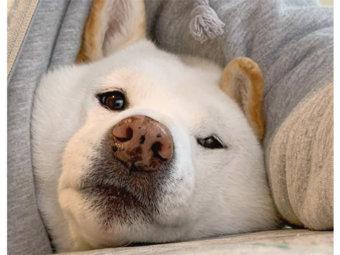 柴犬,狭い所