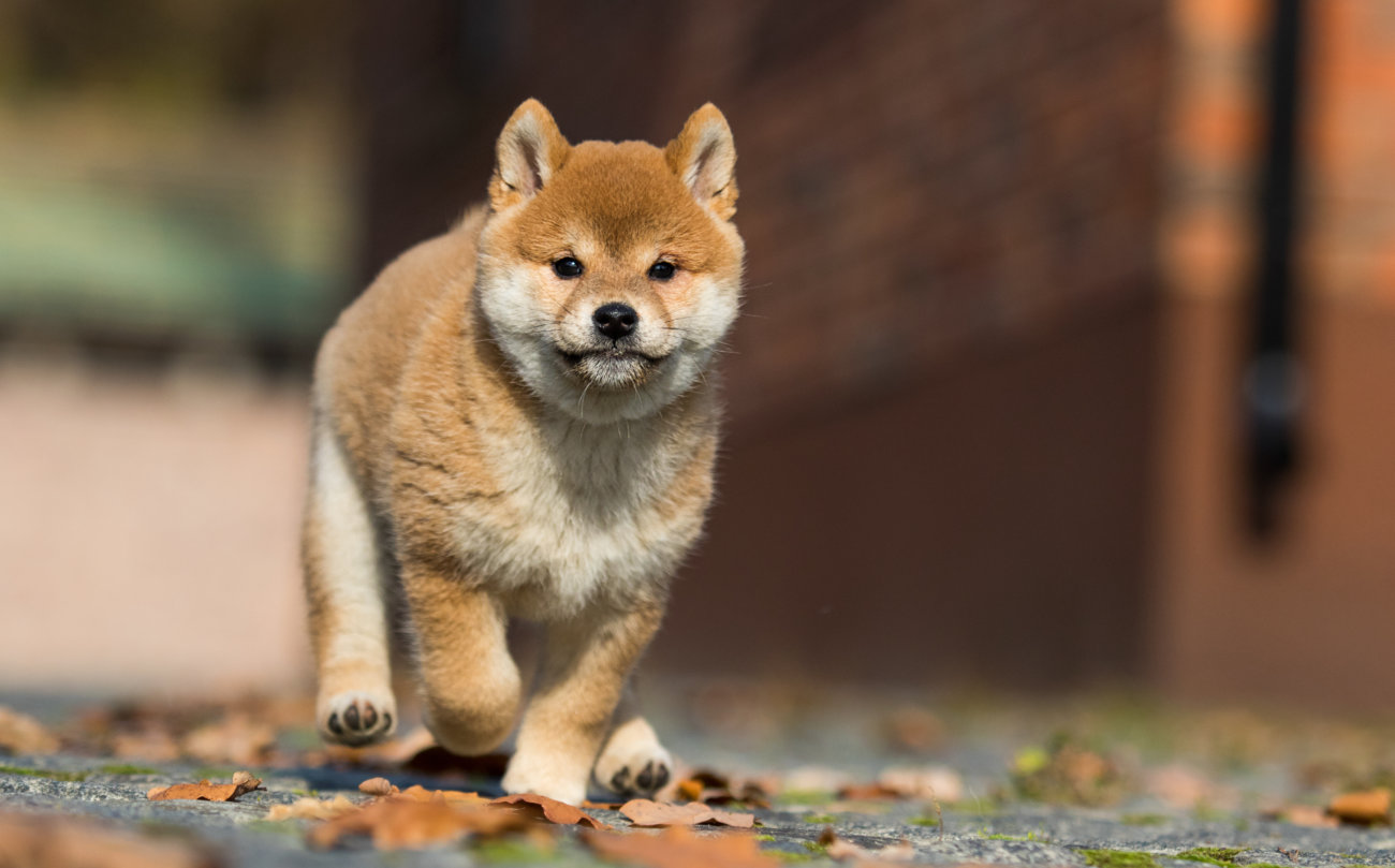 柴犬,ココグルメ
