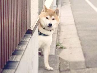 柴犬,ひょっこり