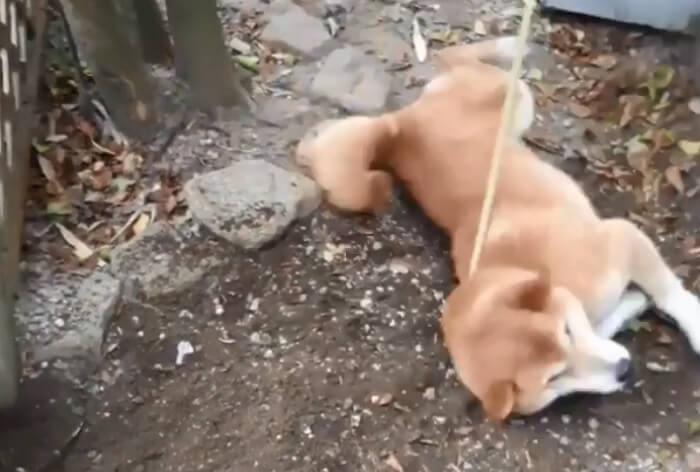 柴犬,Instagram