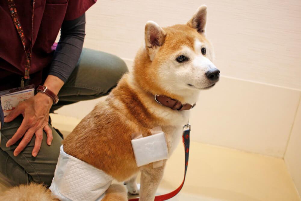 柴犬,柴を介護する