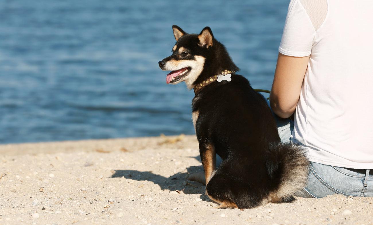 柴犬,散歩