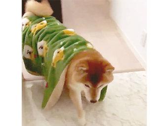 柴犬,毛布