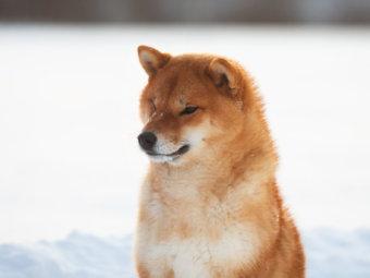 柴犬,コロナウィルス