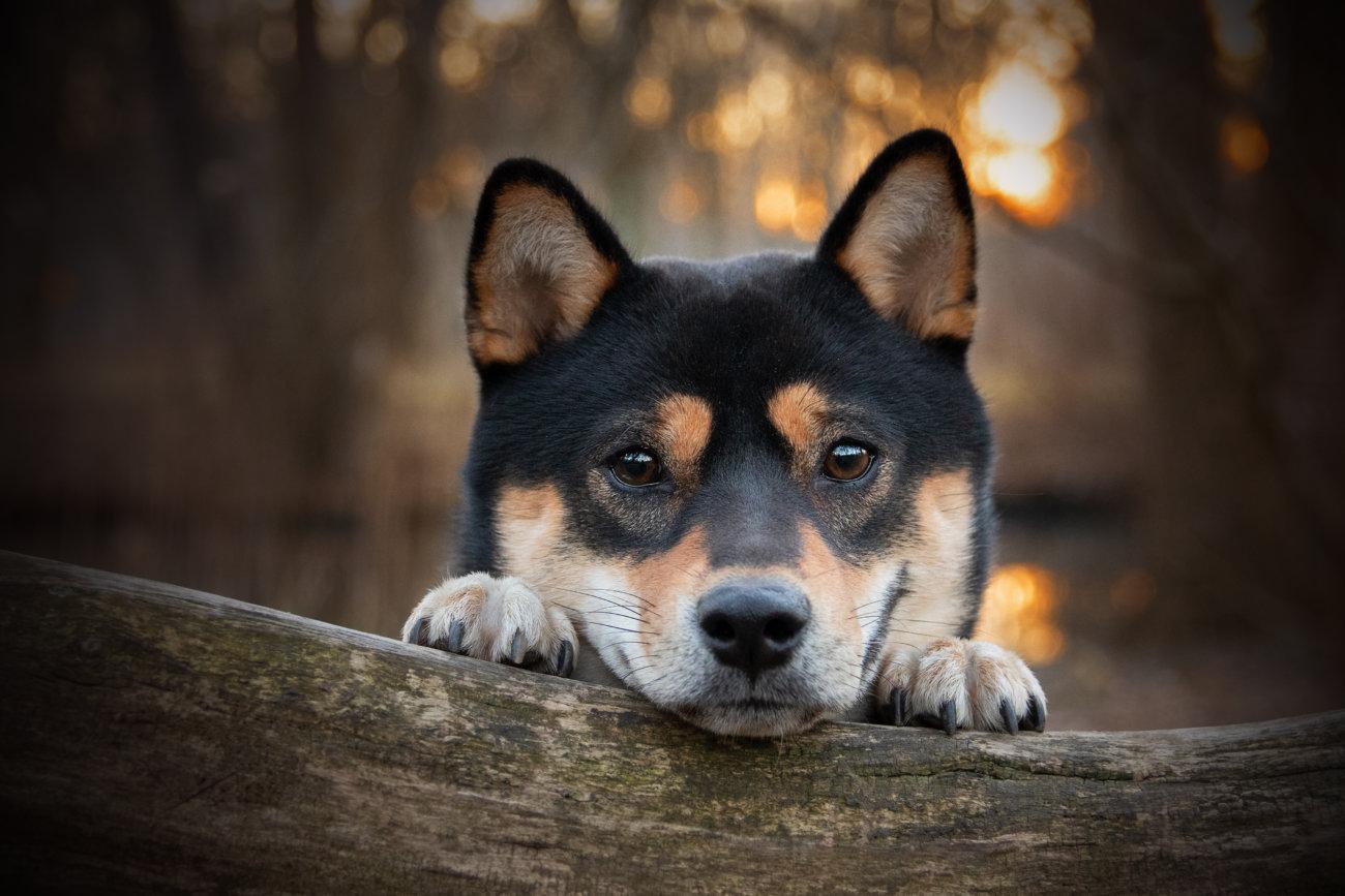 柴犬,forema,フード