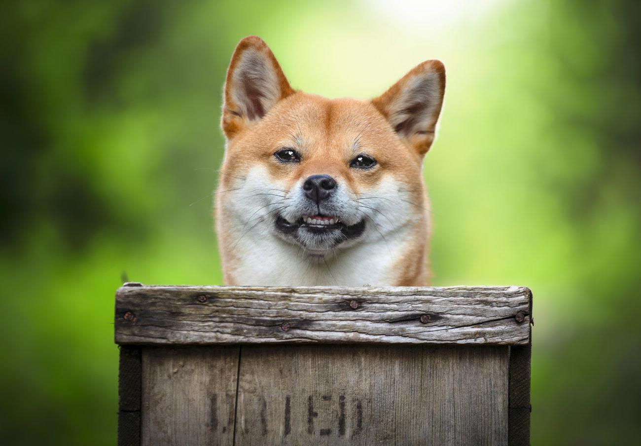 柴犬,サプリ,わんちゃんのおめめ