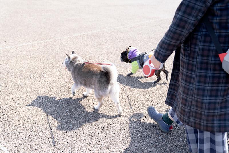 柴犬,フレブル