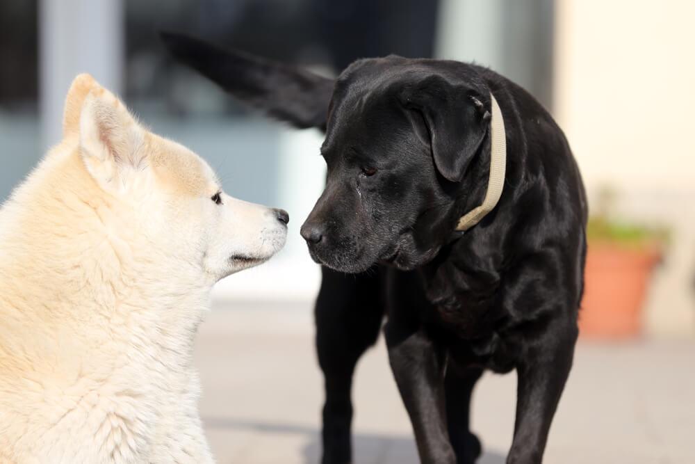 柴犬と黒ラブ