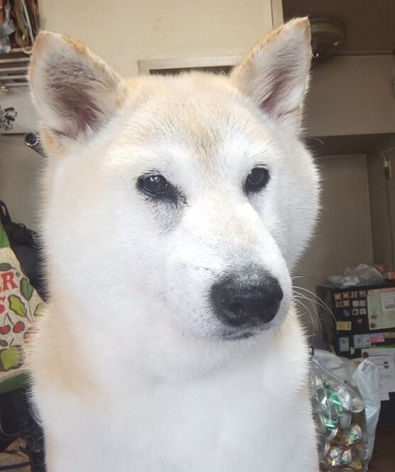 柴犬,迷子犬