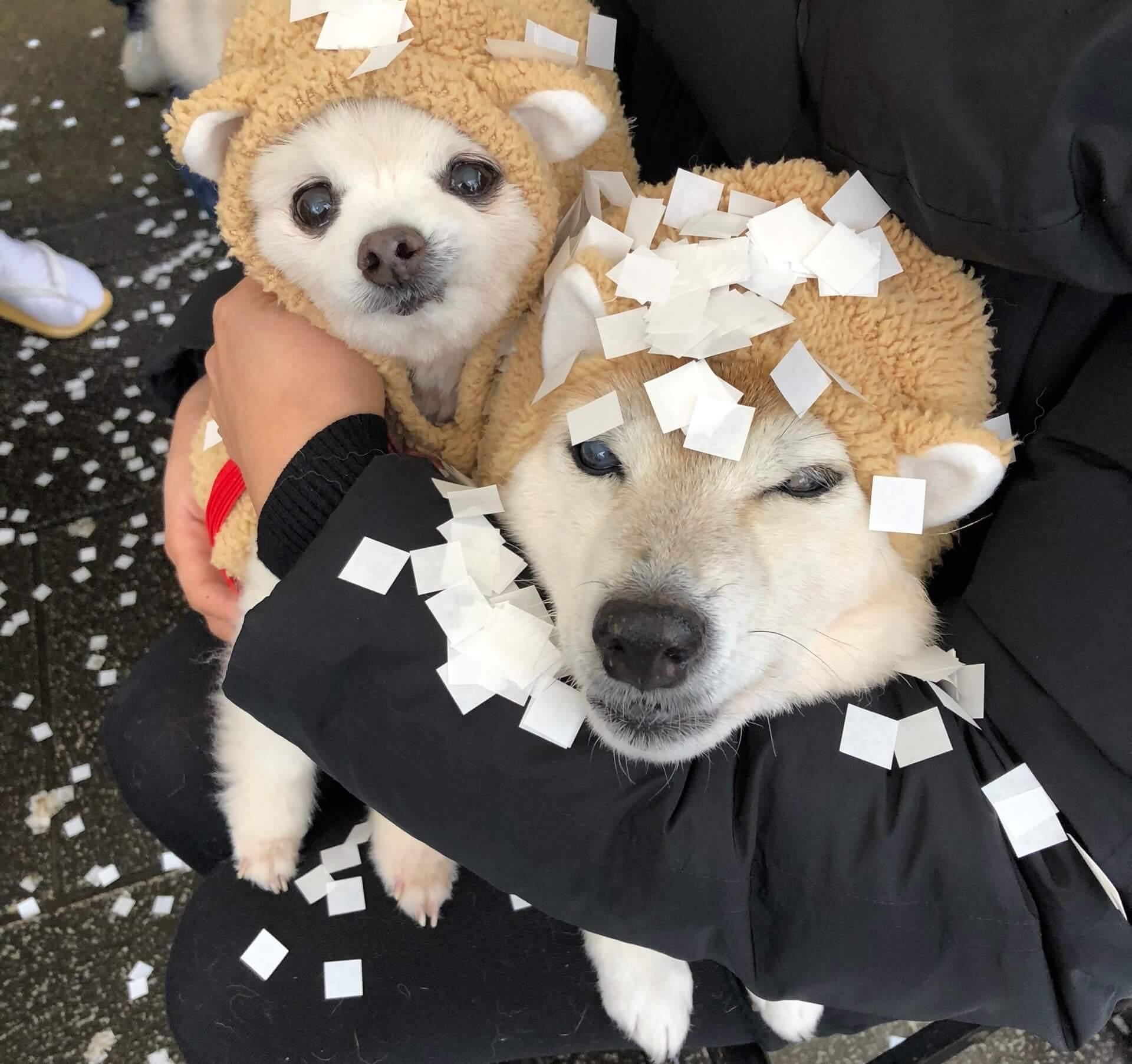 柴犬とポメラニアン