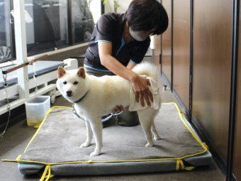 柴犬,老犬介護