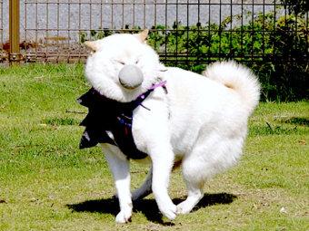 柴犬,ツボった