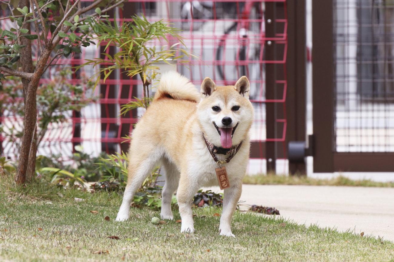 柴犬,アンチノール