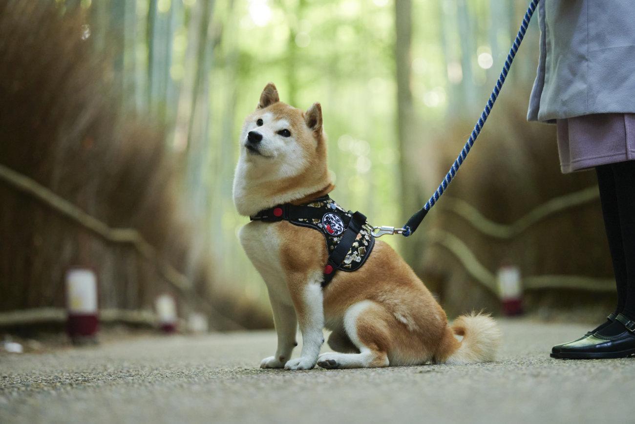 柴犬,ハーネス