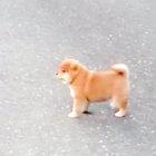 散歩に出かけたママを追いかけるもどんどん遠くに…「置いていかれた」と呆然と見つめる健気な姿に心が号泣【柴犬動画】