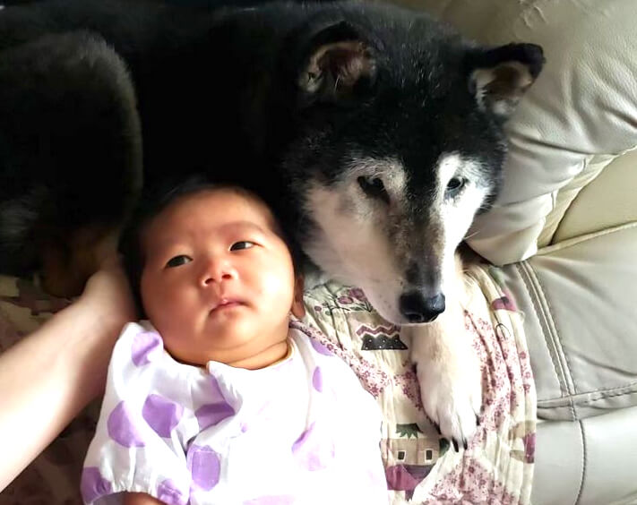 柴犬と赤ちゃん
