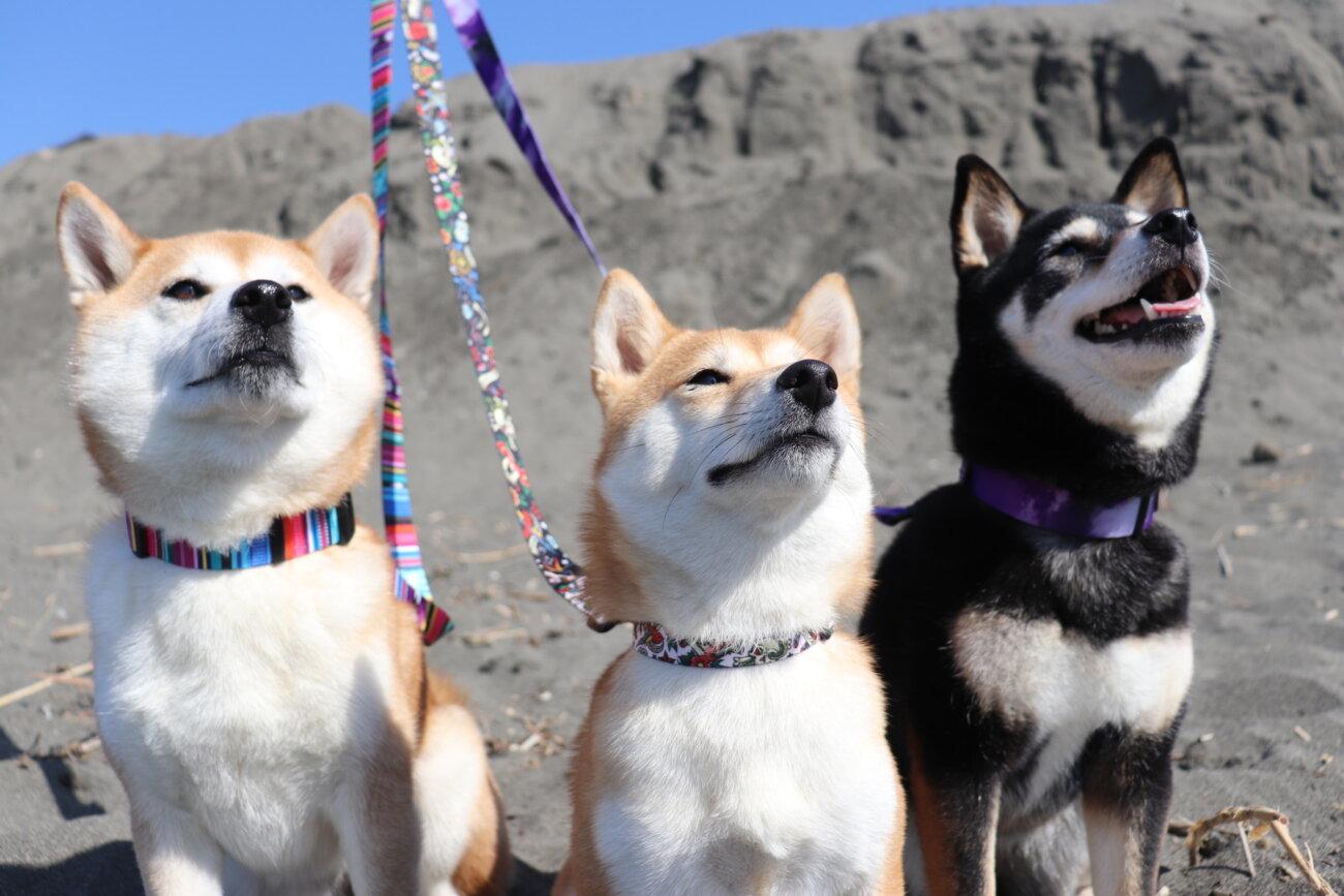 柴犬,ウルフギャング,リード,首輪,ハーネス