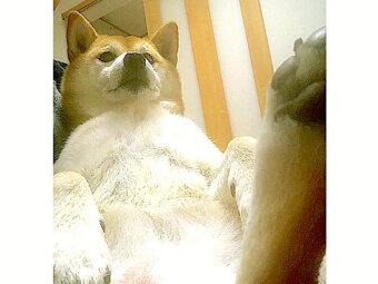 柴犬,Instagram,Twitter