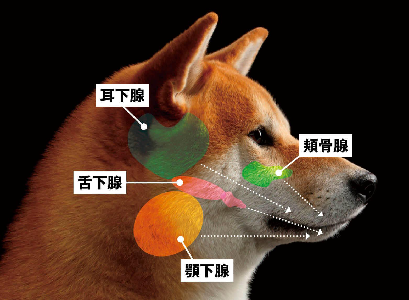 犬の唾液腺