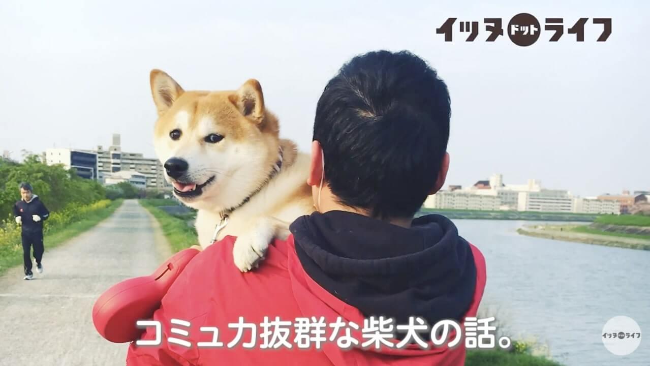 柴犬,動画,イッヌドットライフ