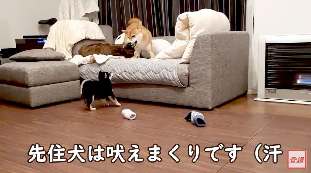 柴犬,YouTube