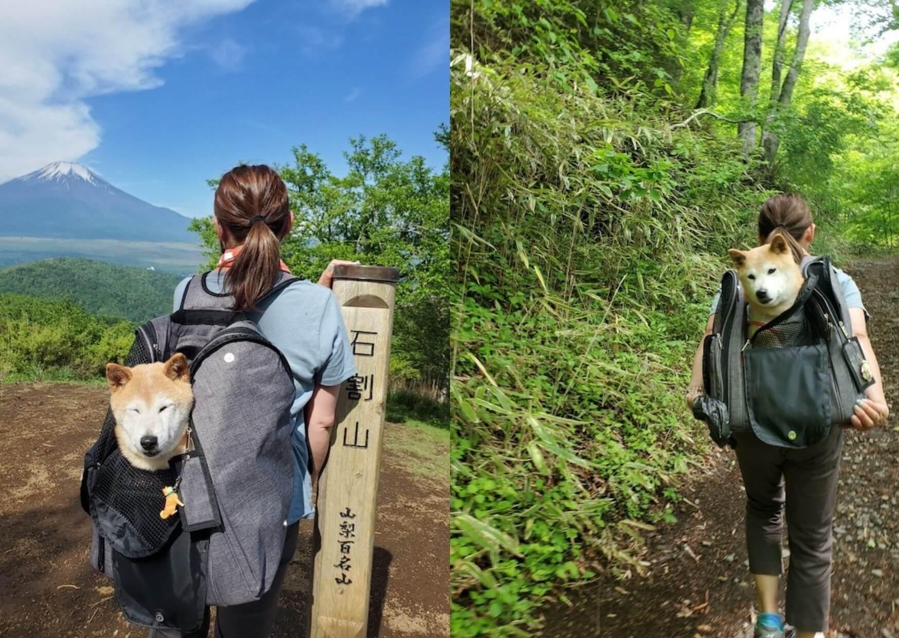 登山する柴犬