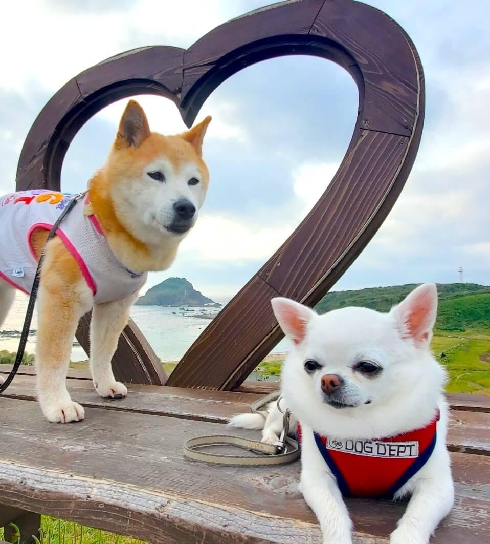 柴犬とチワワ