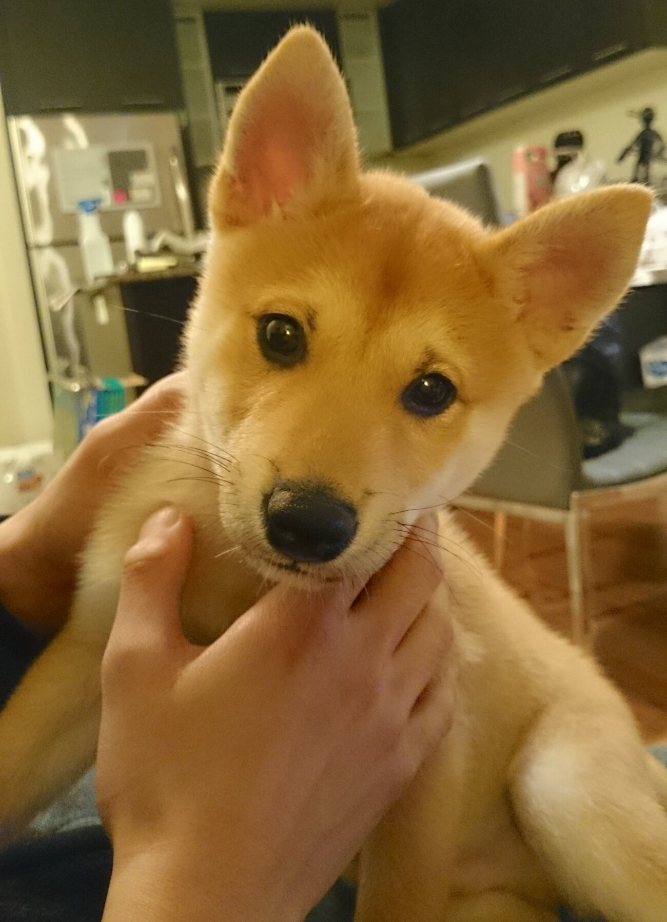 柴犬ライフ,Ryucrew,カナダ,YouTube