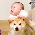 """家族に溺愛される""""二代目""""柴犬。愛情深くて小さな甥っ子とも相思相愛、爆笑させる姿に超ホッコリ!【動画】"""