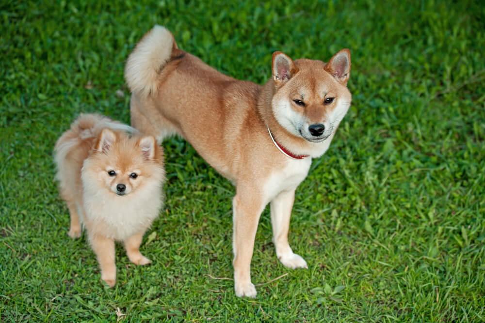 柴犬,ポメラニアン