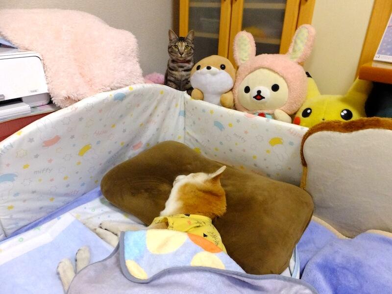 寝たきりの柴犬